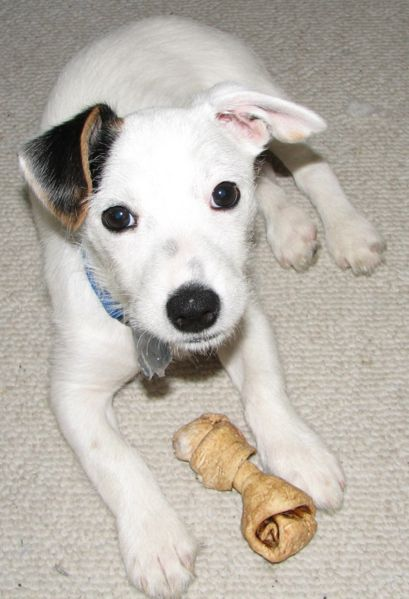 Jack Russell puppy with a chew bone.