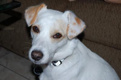 jack russell terrier white lab mix - photo #49