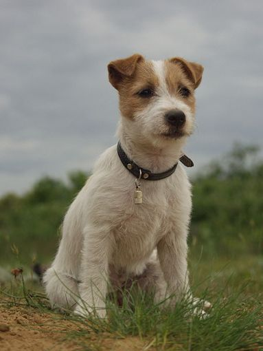 Long hair Jack Russell sitting on the grass.