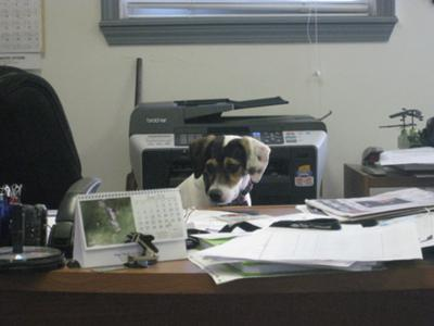 NEW OFFICE MANAGER- Jack Russell Terrier